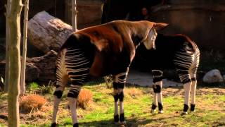 Baby Okapi 1st Day Out - Cincinnati Zoo
