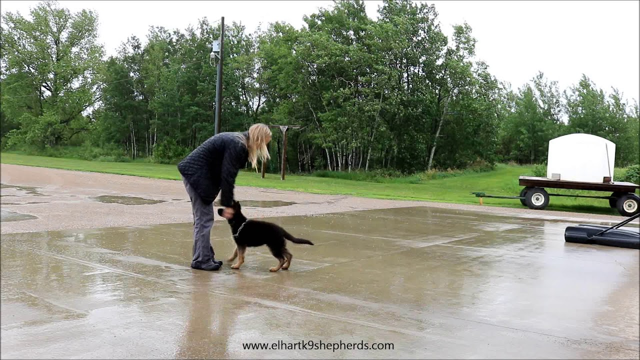 Ky 12 Weeks German Shepherd Puppy Youtube
