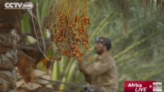 The Nile Series: Dates farm thrives because of the Nile