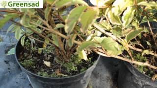 видео Пошаговое размножение спиреи черенками