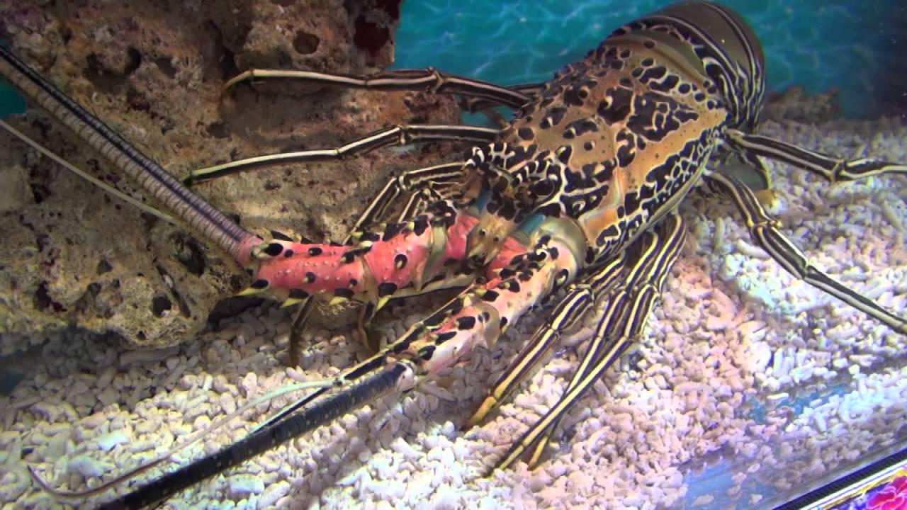 ゴシキエビ Painted spiny lobster Panulirus versicolor
