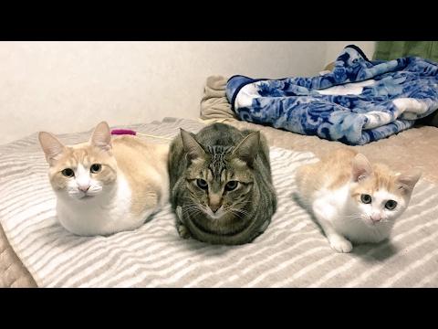 【かわいい】朝起きたら猫達にダイブされました  Cats jumping into the owner to wake up