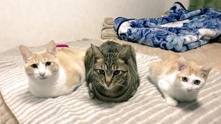 大人気寝起き猫シリーズ Twitter@atsushi_314.