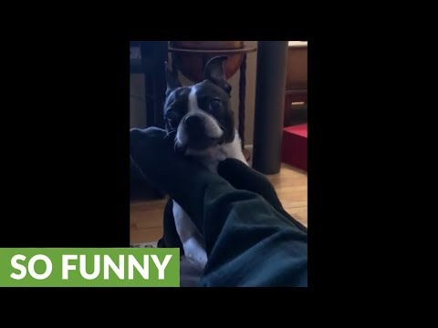 Boston Terrier hilariously attacks owner's feet