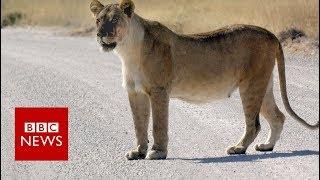 Mountain lion roams California backyards - BBC News