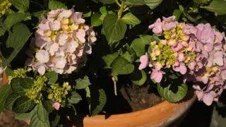 How to Replant Hydrangeas : Garden Savvy