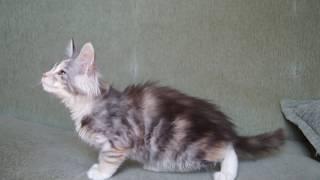 котёнок Мейн кун девочка в 2 мес 3 недели