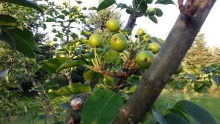 Asian Pear Thinning Nijiseiki