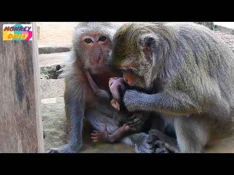 Tima no confidence with Dolly try close ba but she trust with Merri care Timo  Monkey Daily 1752