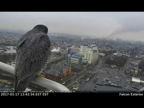 Peregrine Falcon-Union County Courthouse roof
