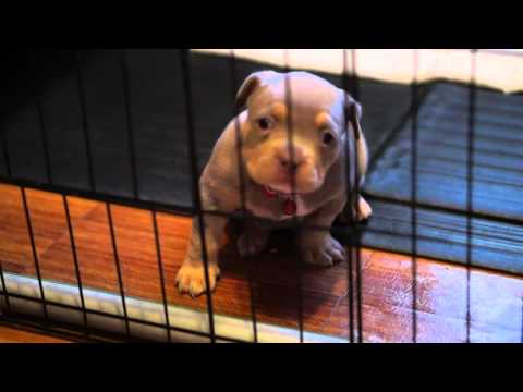 AMERICAN BULLY PUPPY HOWLING