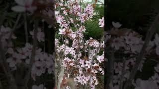 마드리드 동네에 아몬드 꽃이 활짝 피었습니다~#shor…