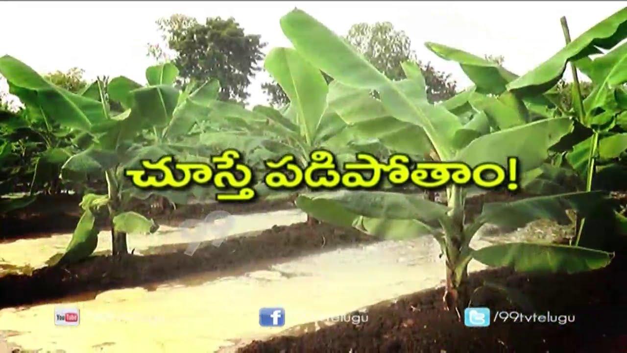 Banana Plantation Banana Cultivation Eruvaka 99tv Youtube