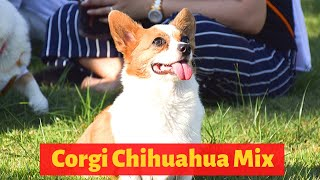 All the Interesting Facts about the Corgi Chihuahua Mix (Chigi) | Should you get one for you?