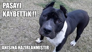 PİTBULL PAŞAYI KAYBETTİK ( PAŞANIN ANISINA HAZIRLANMIŞTIR ) Best Pitbull