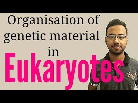 Chromatin (Organization Of Genetic Material In Eukaryotes)