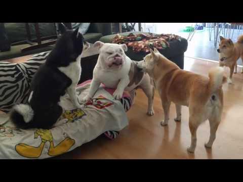 Shiba fight with Bulldog