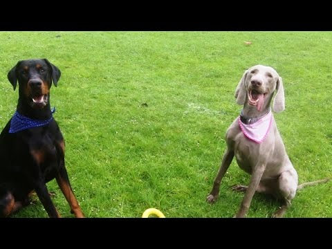 Doberman & Weimaraner Gus & Sebastian messing around.