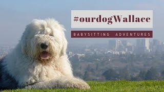 Old English Sheepdog 1st time Babysitting┃#ourdogWallace┃Ed&Mel