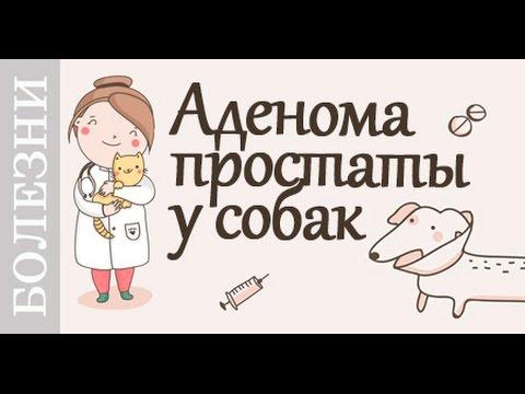аденома простаты у собаки - лечение