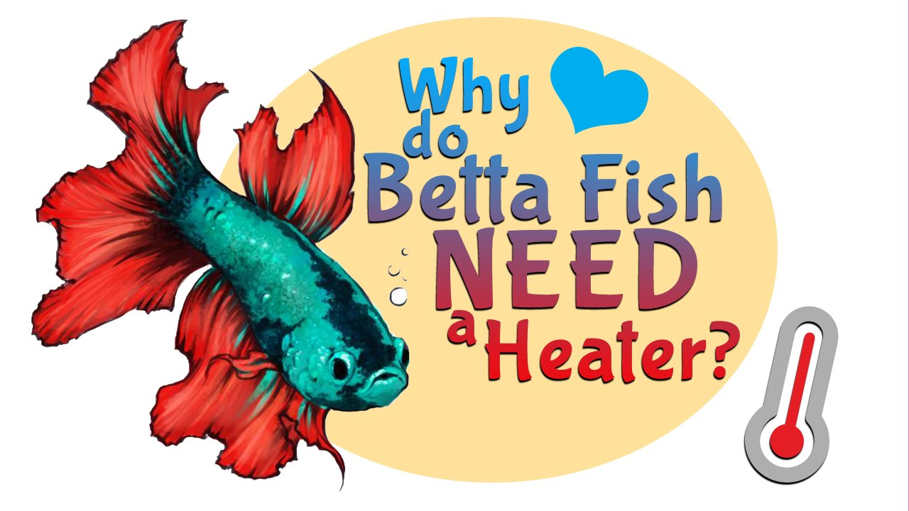 why do betta fish need a heater for their tank or bowl