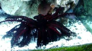 FEATHER STARFISH SWIMMING