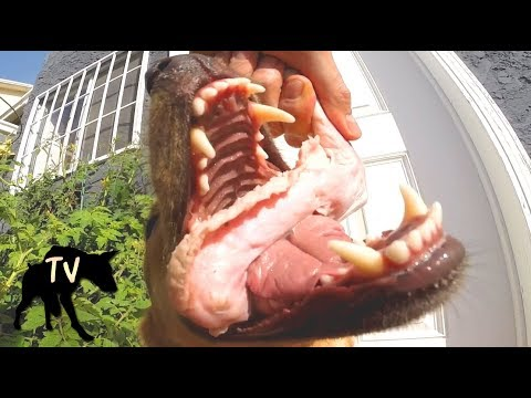 Zoomed in Dog eating Raw Meat | Raw Feeding Vlog