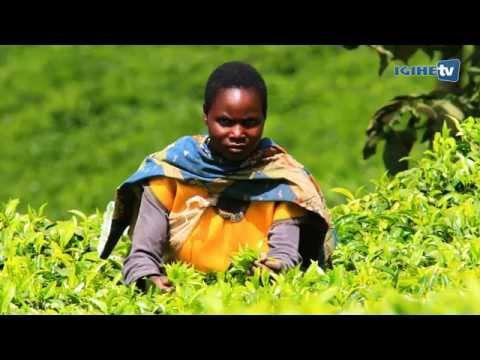 From Tea plantation to Tea bag (Rwanda Mountain Tea)
