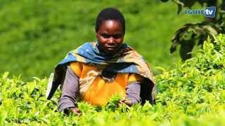 From Tea plantation to Tea bag (Rwanda Mountain Tea)