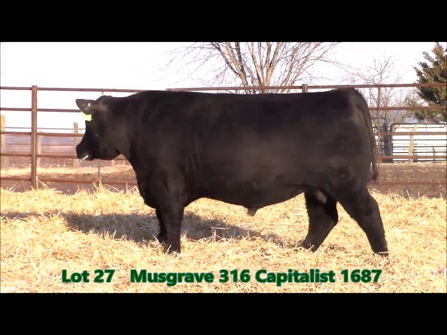 Musgrave Angus Lot 27