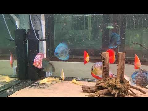 ์Nino  ให้อาหารตู้ปลาปอมปาดัวร์