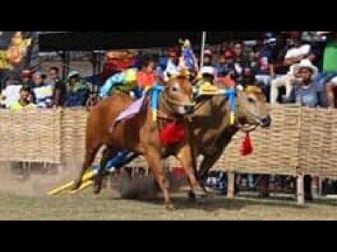 Legendaris kerapan sapi ( kembang api. H. Moh ridwan Manding, Sumenep ) Jangan kasih kendor