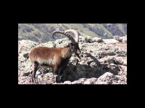 Group of Male Walia Ibex