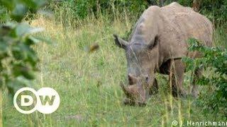 Uganda's southern white rhinos | DW English
