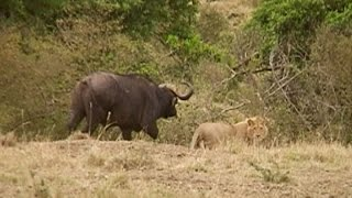 A pride of young lions meets a herd of buffaloes. Buffaloes are gra...