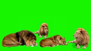 Lion green screen // singa