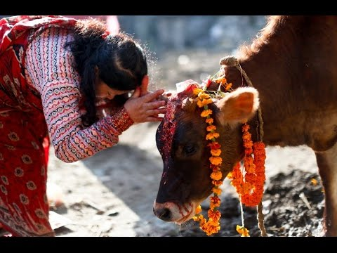 Gaupuja and Gobardhan puja||Tihar festival गाइ र गोबर्धन पुजा||तिहार - YouTube