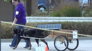 Medallion Rottweiler Club Carting Trial 10/7/15 Part 2