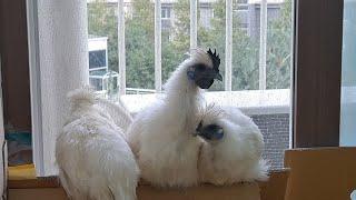 어느 여름날, 베란다의 닭들(친구 왕따 시키면 안되!!…