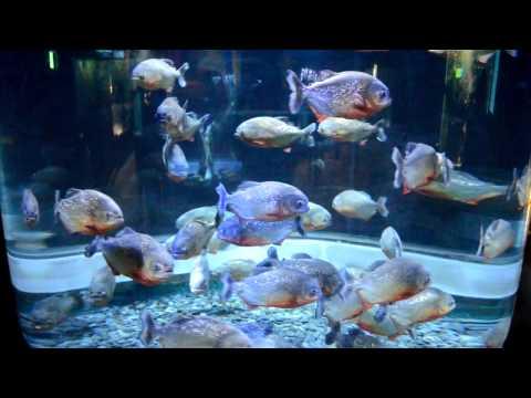 a group of Piranha in a aquarium