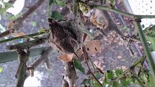 The Hummingbird Trees 04-20-2019 22:40:51 - 23:40:52 thumbnail