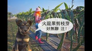 農事│火龍果剪枝芽(Pruning the pitaya bud)