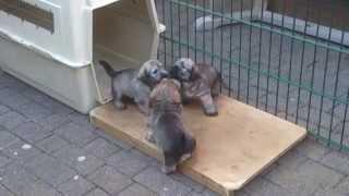 Welpen Irish Glen Of Imaal Terrier 4 Fire & Ice L-wurf
