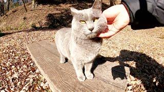 ロンシアンブルーよのうな灰色猫が土手を下ってモフられにやってきた