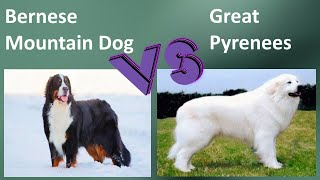 Bernese Mountain Dog VS Great Pyrenees  Comparison and Differences