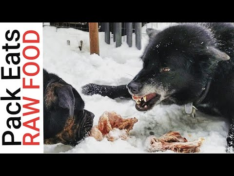 How I Feed RAW FOOD to My Pack - 'PackBang' K9 Mukbang