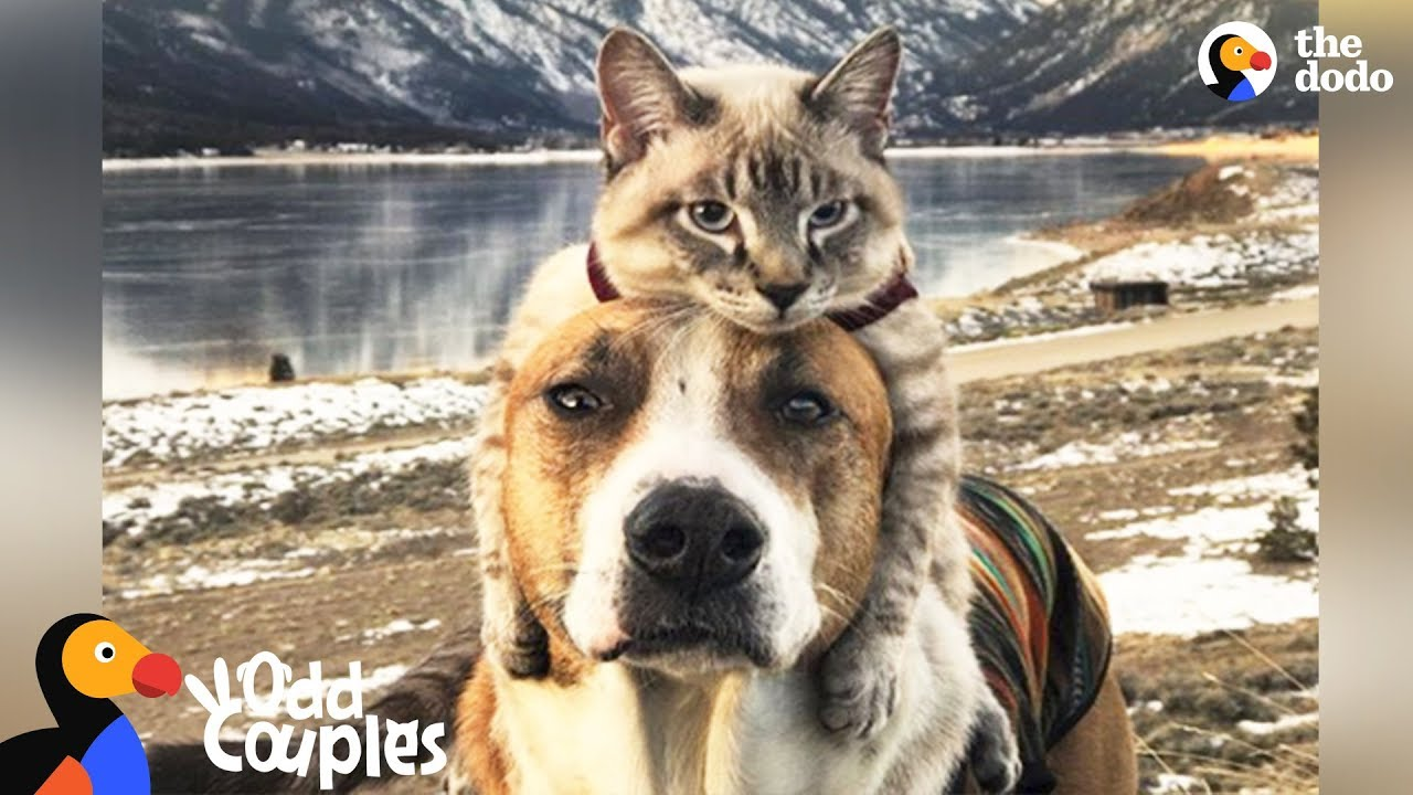 Animal Odd Couples Youtube dog comforts his cat brother in the cutest way - henry & baloo | the dodo  odd couples