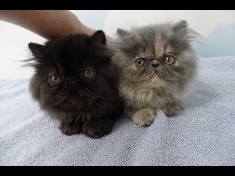 Coming Home to my two Persian Kittens on the Second Day