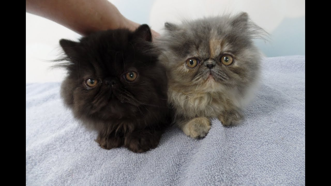 ing Home to my two Persian Kittens on the Second Day