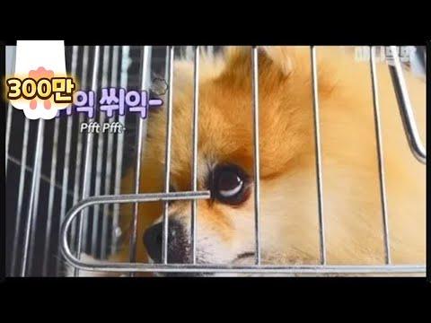 삐지면 방문 쾅 닫고 들어가는 포메ㅋㅋㅋㅋ ㅣ  Upset Pomeranian Dog Slams The Door LOL